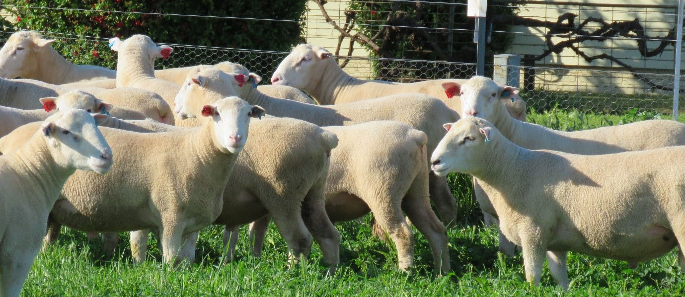 Lachlan Valley Rams | White Suffolk & Poll Dorset
